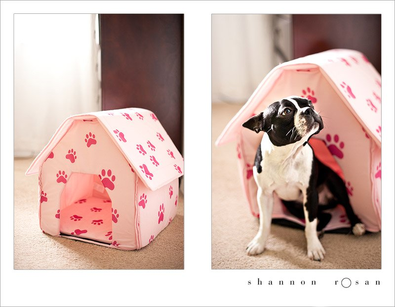 Boston Terrier in Pink Dog House